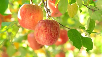 stock-footage-apple-trees-with-red-apples